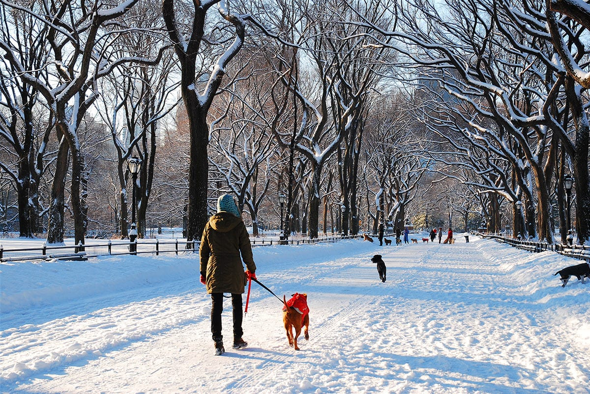 Person walking in Central Park, on a snow-covered path, holding a dog on a leash