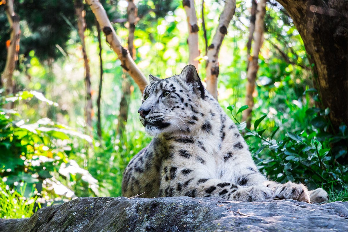 White leopard lying on a rock at Central Park Zoo
